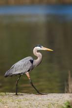 Lake Murray. San Diego, California. Male Great Blue Heron Strolling The Shoreline