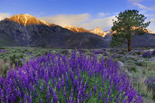 USA, California, Sierra Nevada Mountains. Inyo Bush Lupines In Bloom.