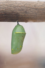 USA, CA, Pismo Beach. Monarch Butterfly Pupa