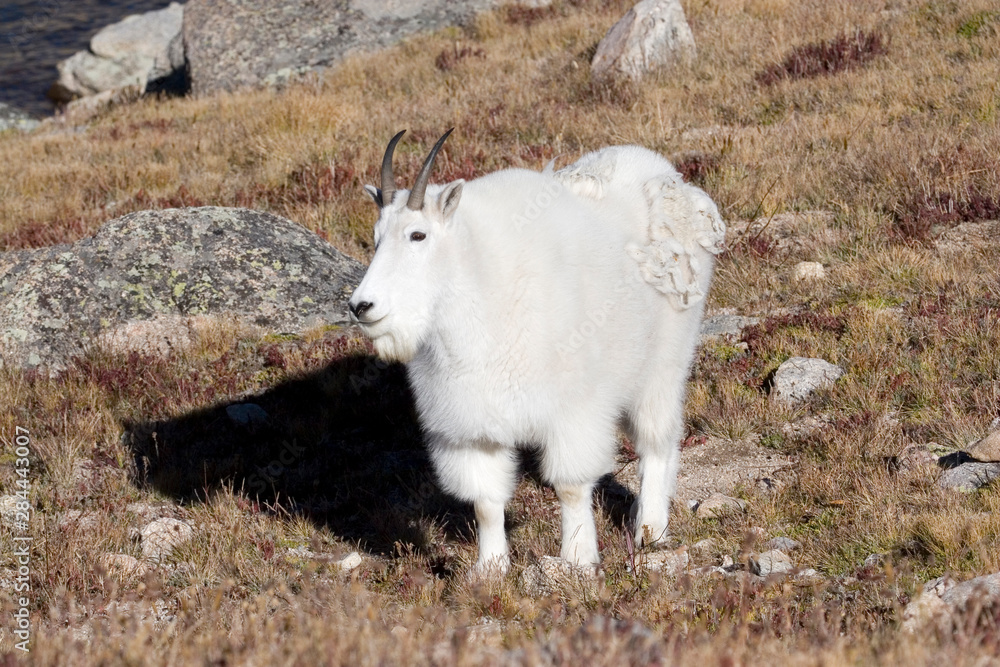 North America - USA - Colorado - Rocky Mountains - Mount Evans. Mountain goat - oreamnos americanus.
