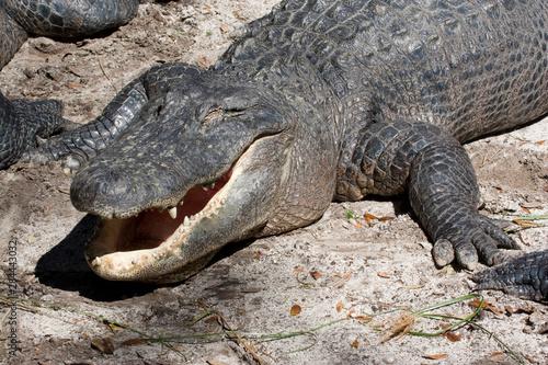 Printed kitchen splashbacks Crocodile USA - Florida - American Alligator (captive) at Alligator Farm in St Augustine