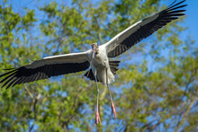 USA, Florida. A Wood Stork Fly...