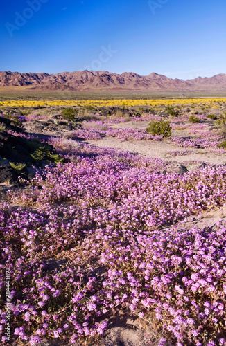 Sand Verbena & Desert Gold at Amboy Crater, CA, USA