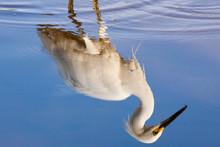 USA, Florida, Everglades National Park. Reflection Of Snowy Egret On Eco Pond.