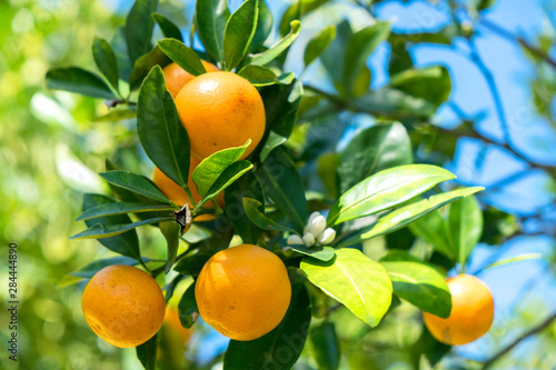 USA, Florida, detail of orange tree