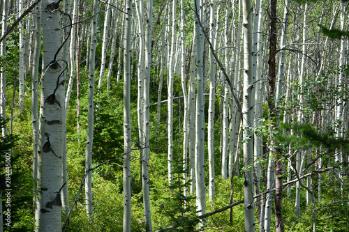 Aspen trees growing in the rocky mountains surrounding Park City, Utah.