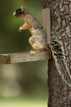 Sherman's Fox Squirrel On Feed...