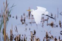 Great Egret (Ardea Alba) Flying Viera Wetlands, Brevard County, Florida