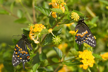 Black Swallowtail Butterflies (Papilio Polyxenes) Male And Female On New Gold Lantana (Lantana Camara), Marion, Illinois, USA.