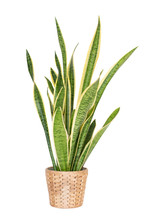Snake Plant,Sansevieria Trifasciata Isolated On White Background. Clipping Path