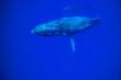 canvas print picture - Humpback Whales (Megaptera novaeangliae), open Pacific Ocean near Kona, Big Island, Hawaii