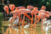 USA, Florida, Orlando, Pink Flamingos And White Ibis, Gatorland.