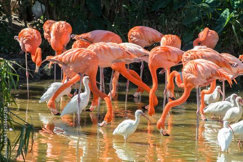 USA, Florida, Orlando, Pink Flamingos and White Ibis, Gatorland. Fototapete