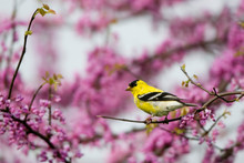 American Goldfinch (Carduelis ...