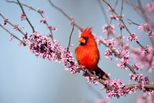 Northern Cardinal (Cardinalis Cardinalis) Male In Eastern Redbud (Cercis Canadensis) In Spring, Marion, Illinois, USA.