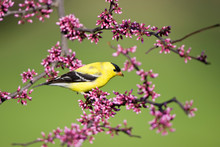 American Goldfinch (Carduelis Tristis) Male In Eastern Redbud (Cercis Canadensis) Tree Marion, Illinois, USA.