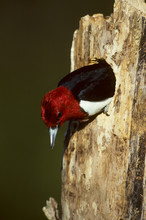 Red-headed Woodpecker (Melanerpes Erythrocephalus) Exiting Nest Cavity, Illinois