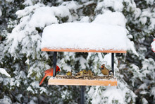 Northern Cardinals, Carolina Chickadee And American Goldfinches On Tray Feeder In Winter, Marion, Illinois, USA.