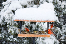 Northern Cardinals, House Finch And American Goldfinches On Tray Feeder In Winter, Marion, Illinois, USA.