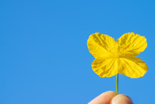 Photo Of A Yellow Flower On A Blue Sky Background Symbolizes Spring, Happiness And Kindness
