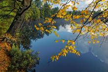 Yellow Birch Leaves Overhanging Tahquamenon River At Sunrise, Near Paradise, Michigan, Upper Peninsula.