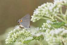 Gray Hairstreak (Strymon Melinus) On American Boneset (Eupatorium Perfoliatum) Marion County, Illinois