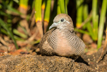USA, Hawaii, Kauai. Zebra Dove...