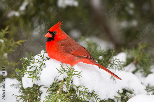 Northern Cardinal (Cardinalis cardinalis) male in Juniper tree (Juniperus keteleeri) in winter Marion, Illinois, USA Poster Mural XXL