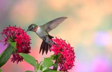 Ruby-throated Hummingbird (Archilochus Colubris) Male On Red Pentas (Pentas Lanceolata). Marion, Illinois, USA.