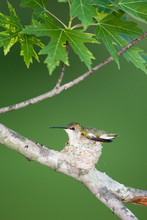 Ruby-throated Hummingbird (Arc...