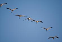 Whooping Cranes (Grus American...