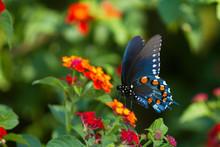 Pipevine Swallowtail Butterfly (Battus Philenor) Male On Red Spread Lantana (Lantana Camara), Marion, Illinois, USA.