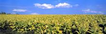 USA, Kentucky, Lexington Area. Tobacco Farming Is One Of Common Industries In The Lexington Area Of Kentucky.