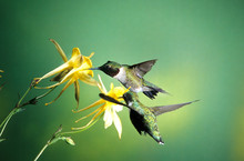 Ruby-throated Hummingbird (Archilochus Colubris) Male And Female On Yellow Columbine (Aquilegia Chrysantha), Shelby County, Illinois
