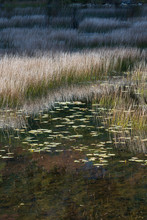 USA, Maine. Grasses And Water Lily Pads With Reflections, The Tarn, Acadia National Park.