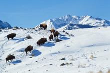 Bison Herd, Electric Peak