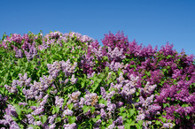 Michigan, Lake Michigan, Mackinac Island. Detail Of Lilac Flowers That The Island Is Famous For.