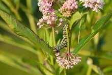 Monarch (Danaus Plexippus) Cat...