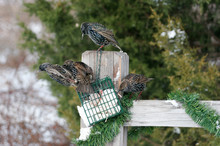 European Starlings (Sturnus Vulgaris) Eating Suet Marion, Illinois, USA.