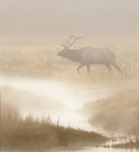 Bull Elk On Foggy Morning Along Madison River, Yellowstone National Park (Montana, Wyoming)