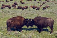 Bison Bulls Sparring