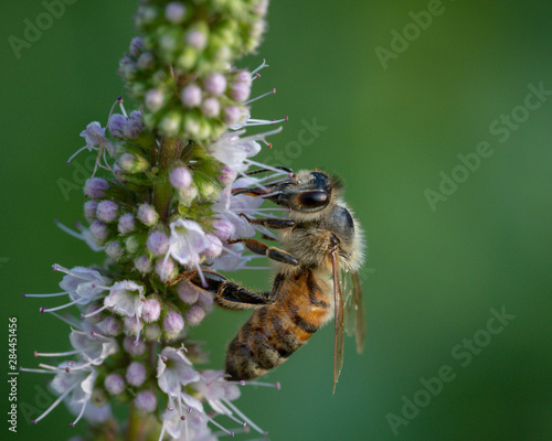 Working honey bee on a purple and green wild flower