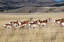 Montana, Three Forks. Herd Of Pronghorn (antelope) In A Prairie