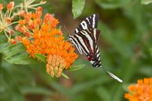 Zebra Swallowtail (Eurytides M...