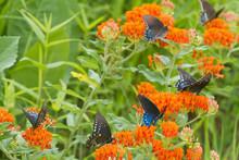 Pipevine Swallowtails (Battus Philenor) On Butterfly Milkweed (Asclepias Tuberosa) Reynolds, Missouri, USA.