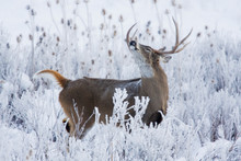 Alerted White-tail Deer Buck