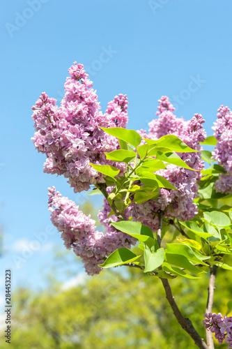 Photo USA, Massachusetts, Boston, Arnold Arboretum, pink lilac