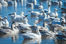 Ross's And Snow Geese In Fresh...