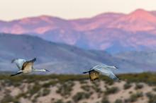 USA, New Mexico, Socorro, Bosque Del Apache. Greater Sandhill Crane Flying (Antigone Canadensis)