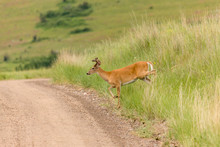 National Bison Range, Montana, USA. White-tailed Deer Buck Crossing A Dirt Road.